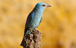 European roller Coracias garrulus Royalty Free Stock Images