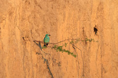 European roller (coracias garrulus) Royalty Free Stock Photo