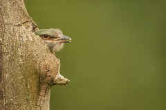European Roller - Coracias garrulus. Chick of European Roller looking out from the tree nest Stock Image