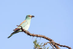 European Roller Stock Images