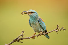 European Roller - Coracias garrulus. European Roller feeding a chick Stock Photography