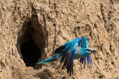 European roller or coracias garrulus in flight near by nest hole