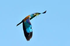 European roller (coracias garrulus) in flight Stock Image