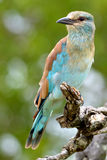 European Roller (Coracias garrulus) Stock Photography