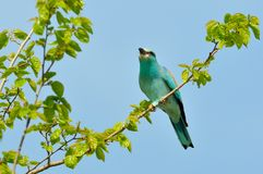 European roller (coracias garrulus) outdoor Royalty Free Stock Photography