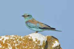 European Roller (coracias garrulus) Royalty Free Stock Images