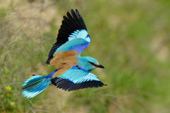 Free European Roller (coracias Garrulus) Outdoor Stock Photo - 43099940