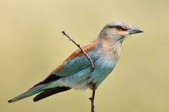 European roller (coracias garrulus) outdoor Stock Photo