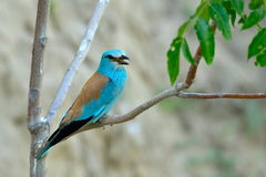 European roller (coracias garrulus) outdoor Stock Photography