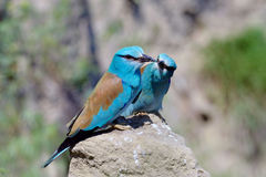 European roller (coracias garrulus) outdoor Royalty Free Stock Photos