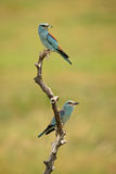 European Roller - Coracias garrulus. Pair of European Rollers feeding a chick Royalty Free Stock Image