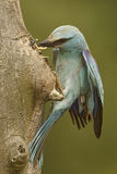 European Roller - Coracias garrulus. Pair of European Rollers feeding on the nest Stock Photos