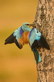 European Roller - Coracias garrulus. Pair of European Rollers feeding on the nest Royalty Free Stock Photos