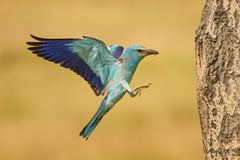 European Roller - Coracias garrulus. Pair of European Rollers flying to the nest Royalty Free Stock Images