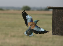 European roller, Coracias garrulus, Royalty Free Stock Photos