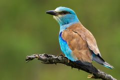 European roller Coracias garrulus sitting on a branch. On a beautiful background Stock Images
