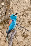European roller Coracias garrulus sitting on a branch. In natural habitat Stock Images