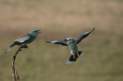 European roller, Coracias garrulus, Stock Photography