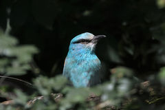 European roller (Coracias garrulus). Royalty Free Stock Photos