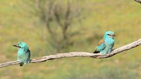 European roller couple perched on a branch. stock video footage