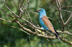 European Roller. Colored bird in Danube Delta, landmark attraction in Romania. Colored bird. European Roller in Danube Delta - landmark attraction in Romania Royalty Free Stock Photography