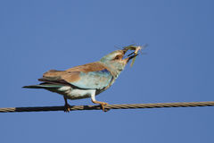 European Roller Royalty Free Stock Image