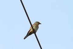 European roller on electric wire Stock Photography