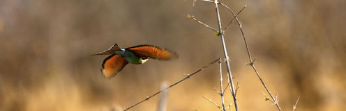 European Roller in flight Royalty Free Stock Image
