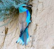 A european roller with a grasshopers in beak sits near the nest Royalty Free Stock Photo