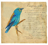 European Roller - An hand painted vector Stock Photo