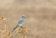 European Roller In Kenya Royalty Free Stock Photo
