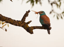 European Roller with locust Stock Image