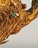 European Roller in the nest Stock Photo