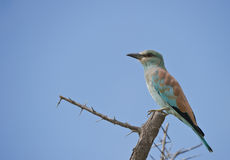 European Roller perched in Africa. A European Roller perched on a bare tree in the Kruger Park, South Africa stock photos