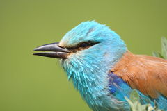 European Roller portrait Royalty Free Stock Photography