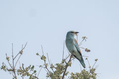 European roller series 05 Stock Photography
