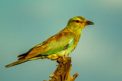 European Roller Stock Image