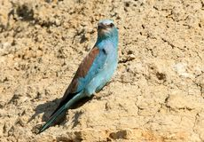 European roller sits on the sand wall Stock Images