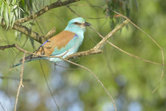 European Roller on a tree Stock Photography