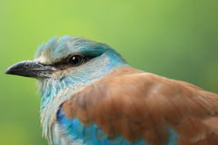 European roller Royalty Free Stock Photos