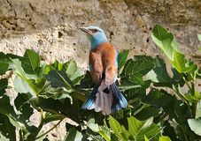 European roller & x28;Coracias garrulus& x29; Stock Photo