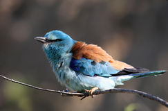 European Rollers (Coracias garrulus) Royalty Free Stock Images
