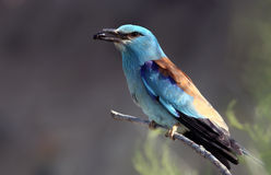 European Rollers (Coracias garrulus) Stock Photography