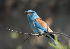 European Rollers (Coracias garrulus) Royalty Free Stock Photos