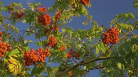 European rowan. Branches with a bunch of red ripe berries. stock video