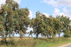 European Rowan at a country road Royalty Free Stock Photo