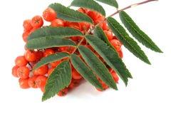 European Rowan fruit Stock Image
