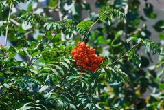 European rowan or mountain-ash Sorbus aucuparia. Red berries of European rowan or mountain-ash Sorbus aucuparia Royalty Free Stock Photo
