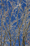 European Rowan ( Sorbus aucuparia ) tree in winter. European Rowan ( Sorbus aucuparia ) tree with red berries during winter in French alps wcovered with snow Stock Photo