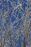 European Rowan ( Sorbus aucuparia ) tree in winter Stock Photo